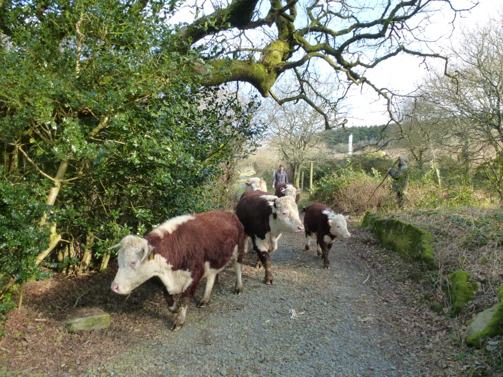 Moving Traditional English Herefords Cornwall  www.thinkingcowgirl.wordpress.com