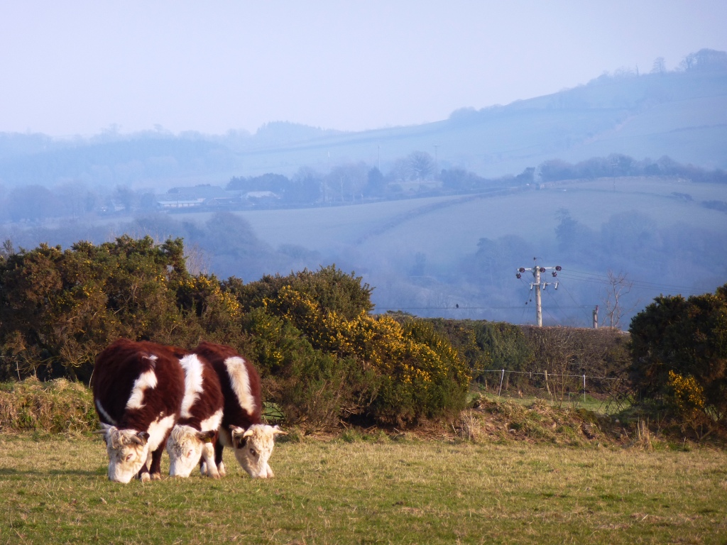 Traditional English Hereford Heifers www.thinkingcowgirl.wordpress.com d