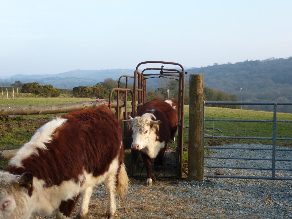 Traditional English Hereford & Cattle Crush www.thinkingcowgirl.wordpress.com
