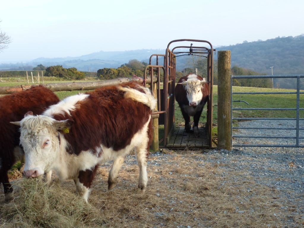 Traditional English Hereford & Cattle Crush www.thinkingcowgirl.wordpress.com