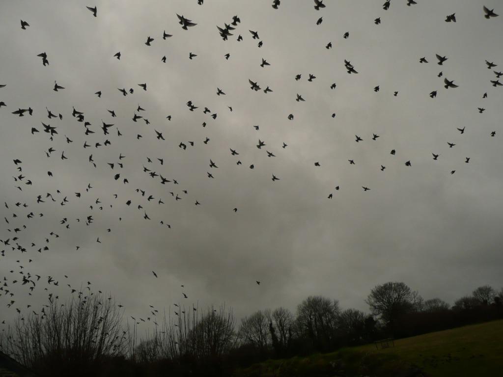 Starlings in Winter www.thinkingcowgirl.wordpress.com