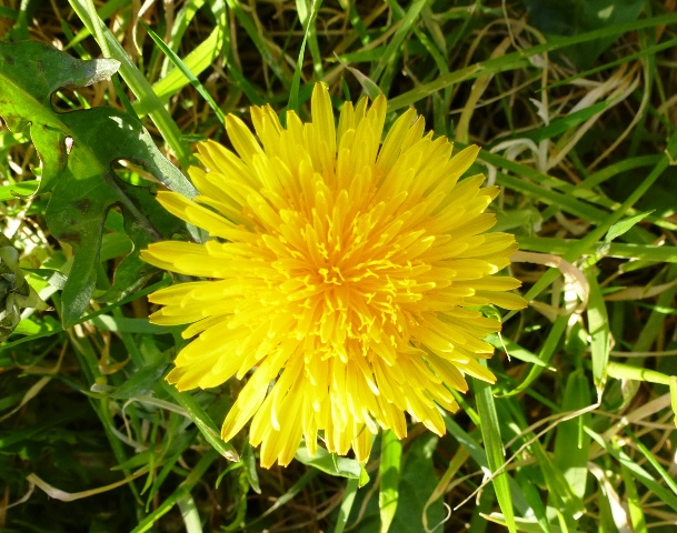 Dandelion www.thinkingcowgirl.wordpress.com