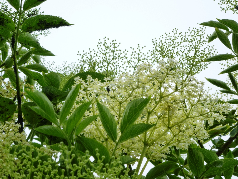 Elderflower www.thinkingcowgirl.wordpress.com
