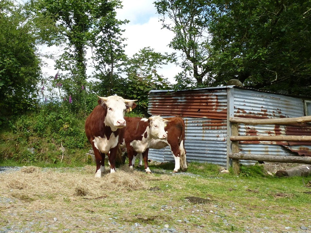 Traditional English Herefords www.thinkingcowgirl.wordpress.com