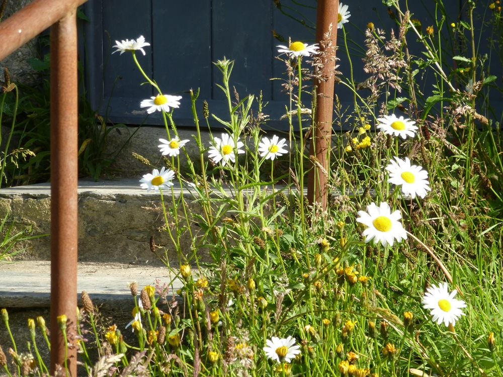 oxeye daisies www.thinkingcowgirl.wordpress.com