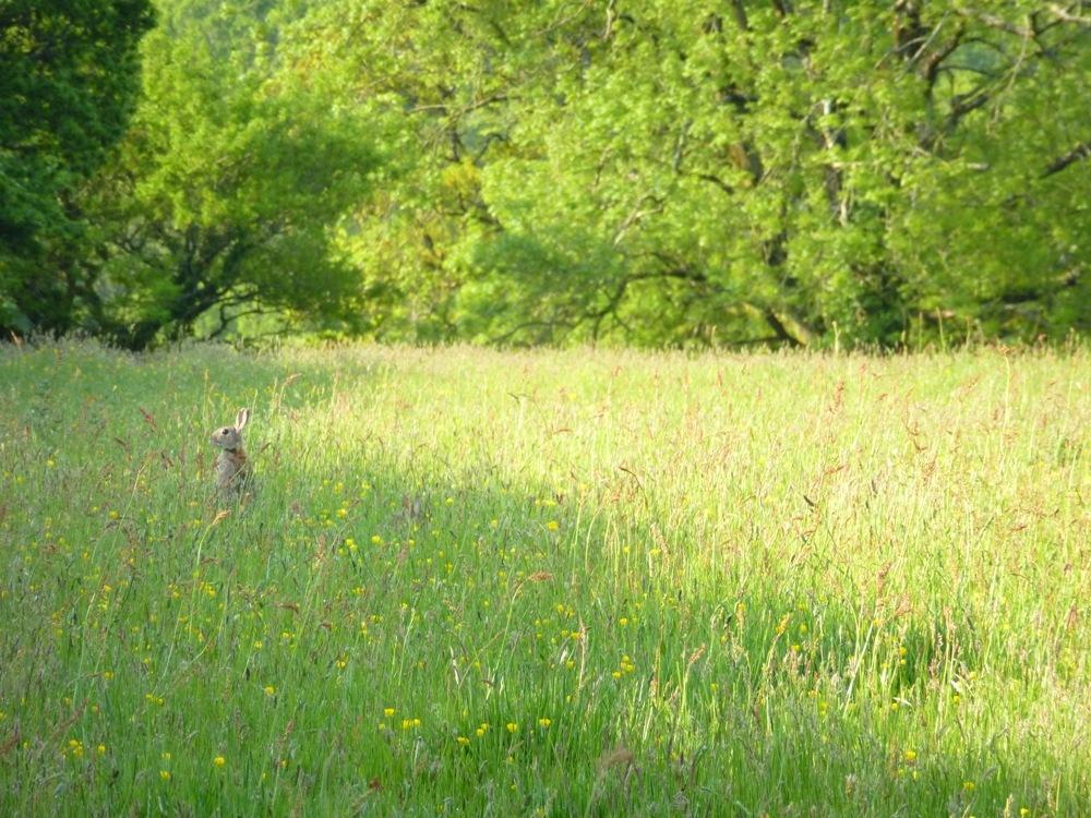 rabbit in meadow www.thinkingcowgirl.wordpress.com
