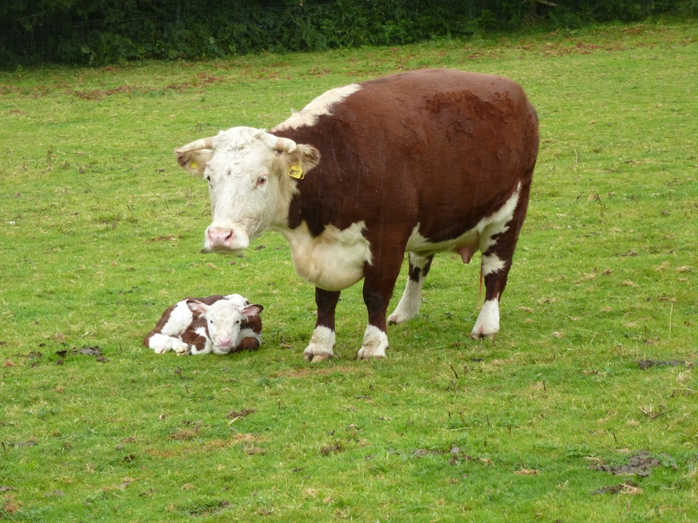 Traditional English Hereford Cow and New Calf www.thinkingcowgirl.wordpress.com
