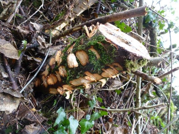 Sycamore stump www.thinkingcowgirl.wordpress.com