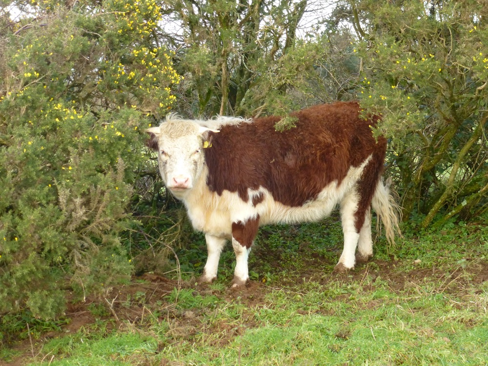 Traditional Hereford Heifer www.thinkingcowgirl.wordpress.com