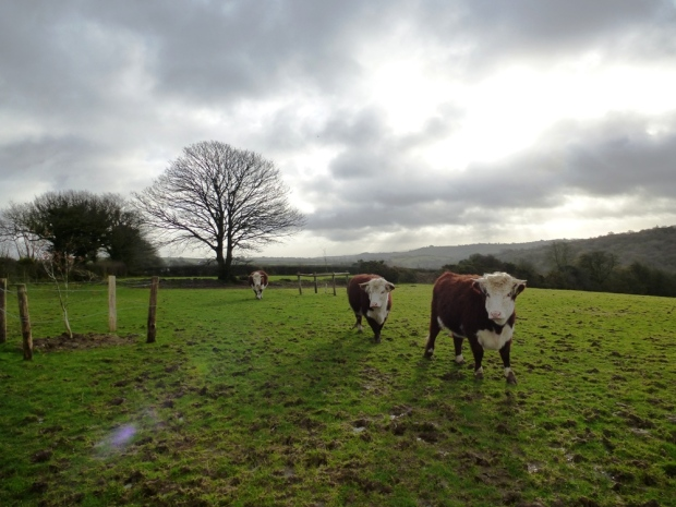 Traditional Hereford Heifers www.thinkingcowgirl.wordpress.com