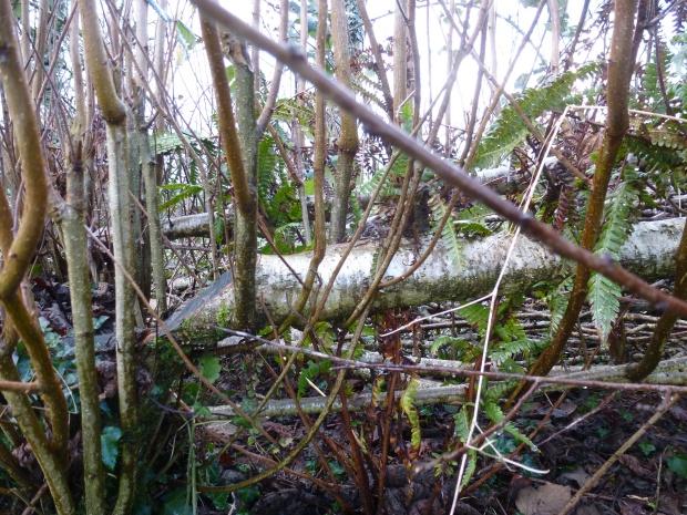 Layed Hedge Cornwall www.thinkingcowgirl.wordpress.com